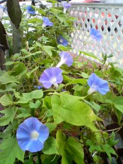 たくさん咲きました