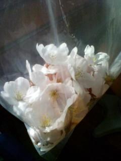 桜をひろった