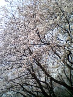根岸森林公園の桜さんぽ